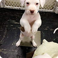 Pit Bull Terrier Mix Puppy for adoption in Baltimore, Maryland - Daisy