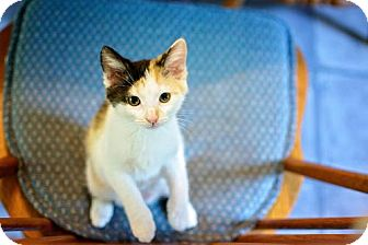 Calico Cat for adoption in Westminster, Maryland - Parson