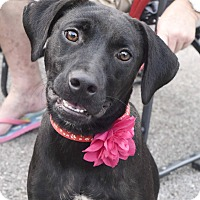 Labrador Retriever Mix Dog for adoption in Harrisonburg, Virginia - Marie