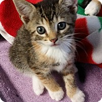 Domestic Shorthair Cat for adoption in Freeport, New York - Elyse