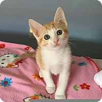 Domestic Shorthair Kitten for adoption in Tampa, Florida - Copper