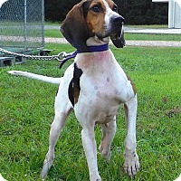 Treeing Walker Coonhound Mix Dog for adoption in St. Francisville, Louisiana - Miranda