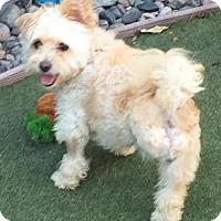 Maltese/Poodle (Miniature) Mix Dog for adoption in Costa Mesa, California - Mai Tai