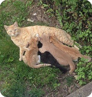 Domestic Shorthair Cat for adoption in Staten Island, New York - Linda