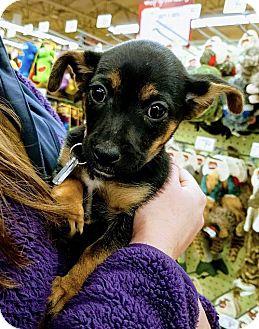 Beagle Mix Puppy for adoption in Hendersonville, North Carolina - Dewey