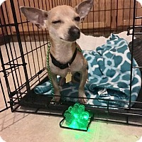 Chihuahua Dog for adoption in Dallas, Texas - Vinny
