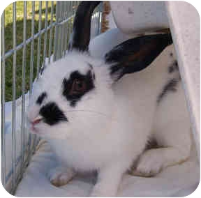 English Spot Mix for adoption in San Clemente, California - LEGOLAS
