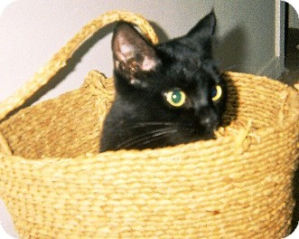 Bombay Cat for adoption in Los Angeles, California - Riley