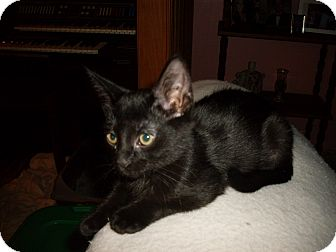 Domestic Shorthair Kitten for adoption in Kirkwood, Delaware - Luna