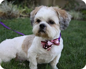 It's getting to be spring and good dogs and puppies are in ...  |Lhasa Dog Mix