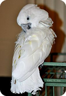Cockatoo for adoption in Shawnee Mission, Kansas - Barley