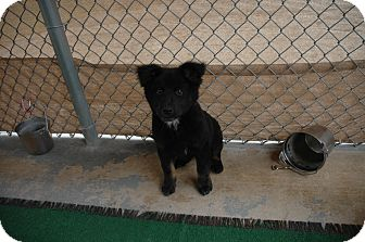 Chow Chow Mix Puppy for adoption in san antonio, Texas - Annie