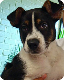 Border Collie/Boxer Mix Puppy for adoption in Groton, Massachusetts - Sheldon
