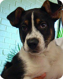 Border Collie/Boxer Mix Puppy for adoption in Charlemont, Massachusetts - Sheldon