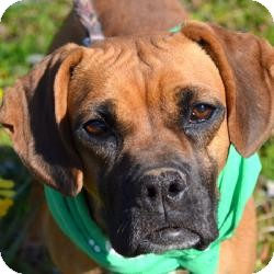 Boxer Mix Dog for adoption in Manchester, Connecticut - MAGGIE MEET ME 5/3