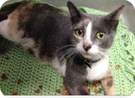 Calico Cat for adoption in Lighthouse Point, Florida - Muffy