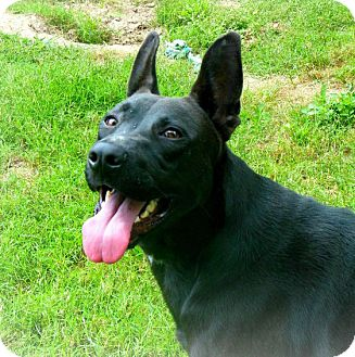 Belgian Malinois/German Shepherd Dog Mix Dog for adoption in Houston, Texas - Cooper