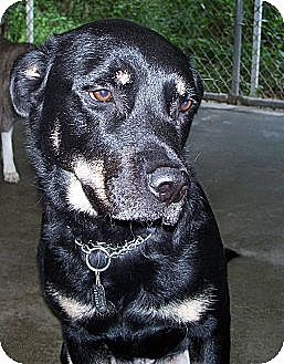 Rottweiler/Labrador Retriever Mix Dog for adoption in Suffolk County, New York - RENFIELD