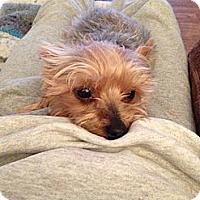 Adopt A Pet :: Lucy - Goodyear, AZ