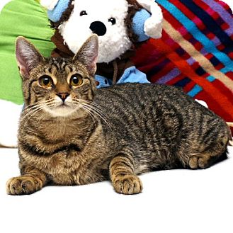 Domestic Shorthair Cat for adoption in Williston Park, New York - Patty Cakes
