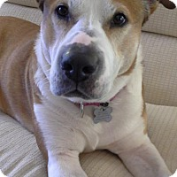 Adopt A Pet :: Ninni Puppy ♥ - Livonia, MI