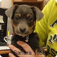 Adopt A Pet :: Sahara - baltimore, MD