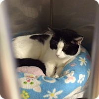Domestic Shorthair Cat for adoption in Byron Center, Michigan - Allison