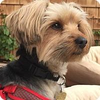 Adopt A Pet :: Sylvester - Oakland, CA