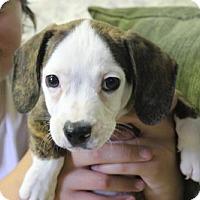 Adopt A Pet :: Mr. President - Washington, DC