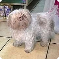 Adopt A Pet :: Chi - Sedona, AZ