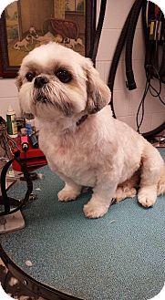 Shih Tzu Mix Dog for adoption in Overland Park, Kansas - Fritz