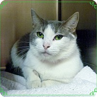 Domestic Shorthair Cat for adoption in Marietta, Georgia - JANIE