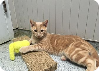 Domestic Shorthair Kitten for adoption in Wantagh, New York - Niles
