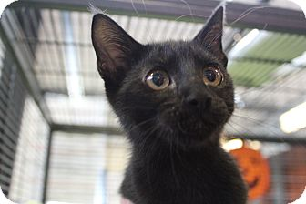 Domestic Shorthair Kitten for adoption in Sarasota, Florida - Wally