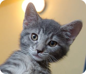 Domestic Shorthair Kitten for adoption in Greenfield, Indiana - Joplin