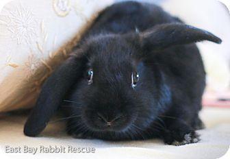 Mini Lop for adoption in Livermore, California - Katy