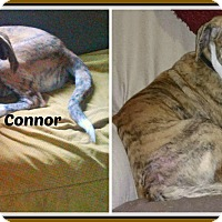 Adopt A Pet :: CONNOR - Malvern, AR