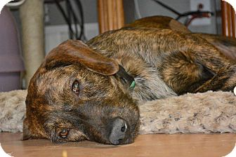 Plott Hound Mix Dog for adoption in Alpharetta, Georgia - Ashley