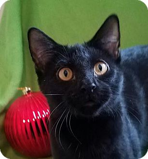 Domestic Shorthair Kitten for adoption in Colfax, Iowa - Reggie