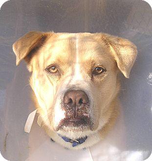 Labrador Retriever Mix Dog for adoption in San Diego, California - Sarge URGENT