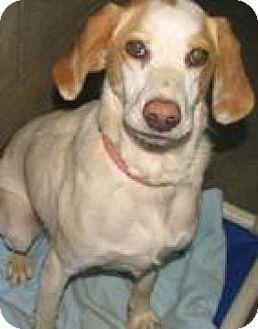 Hound (Unknown Type)/Beagle Mix Dog for adoption in Sparta, New Jersey - Honey
