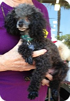 Poodle (Toy or Tea Cup) Dog for adption in Long Beach, California - Colucci