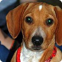Adopt A Pet :: Sir Cuteness - Austin, TX