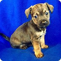Adopt A Pet :: Truffles Puppy - Encino, CA