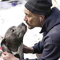 Adopt A Pet :: Steel - Baltimore, MD