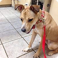 Adopt A Pet :: Annie - Villa Park, IL