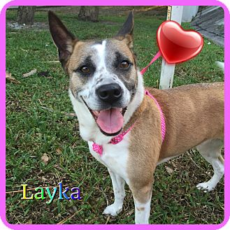 Beagle Mix Dog for adoption in Hollywood, Florida - Layka