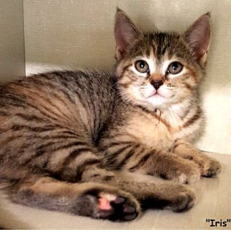 Domestic Shorthair Kitten for adoption in Key Largo, Florida - Iris