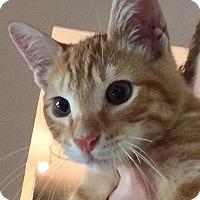 Domestic Shorthair Kitten for adoption in Tampa, Florida - Tigger