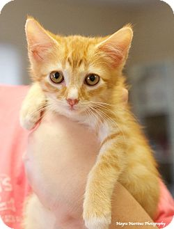 Domestic Shorthair Kitten for adoption in Huntsville, Alabama - Cheeto
